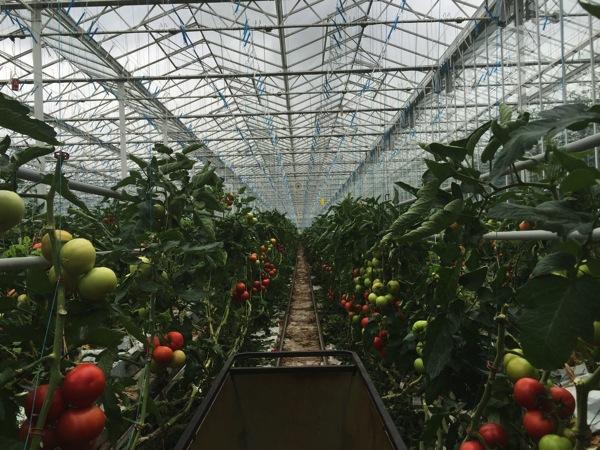 Backyard Farms Tomato Farm