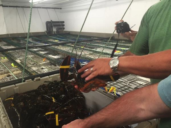 Lobster Wholesaler