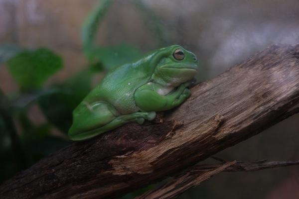 Frog Sydney Zoo