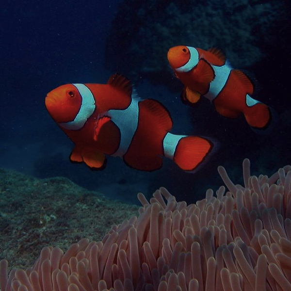 Nemo Great Barrief Reef Whitsundays