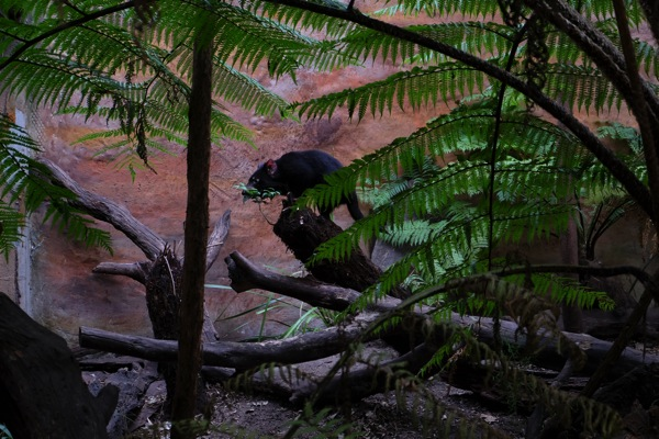 Tasmanian Devil Sydney Zoo