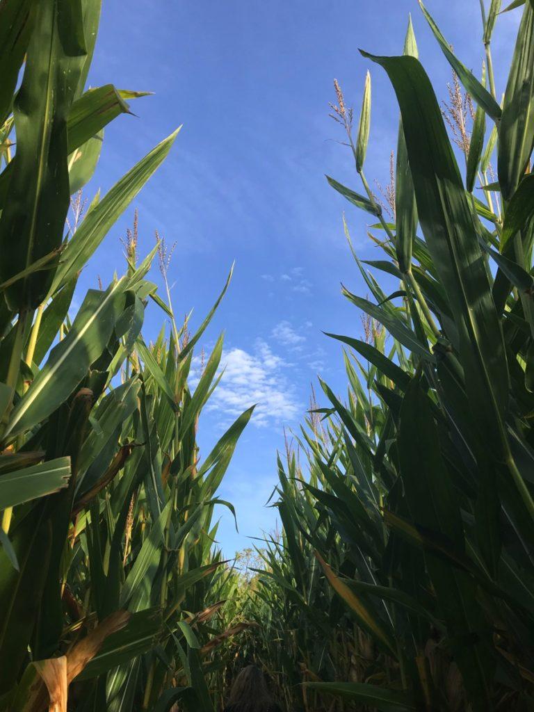 Corn Maze Wilkens Fruit Farm